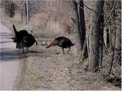 Turkeys crossing Woodland Drive