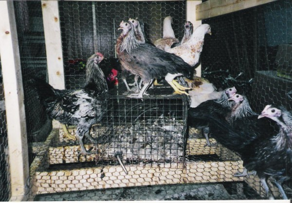 Y2K chickens