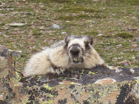 marmot teeth at Glacier.