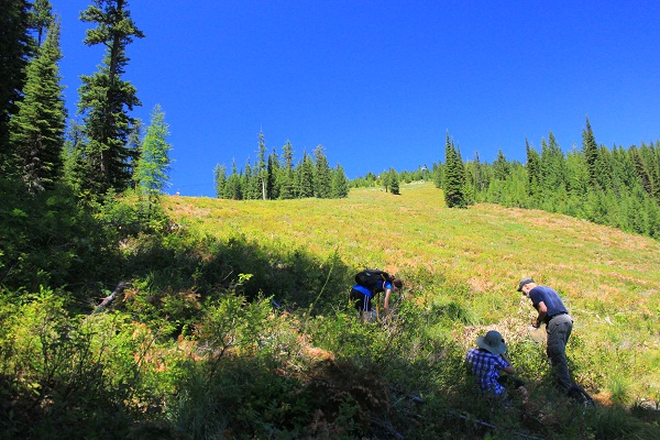 Picking Huckleberries on Big Mountain