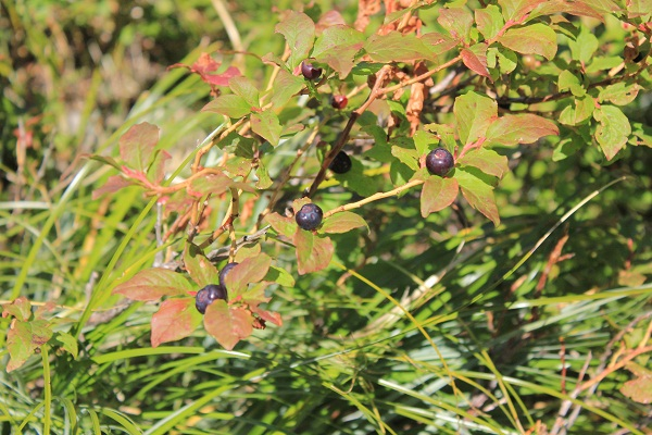 Red leafed huckleberry bush