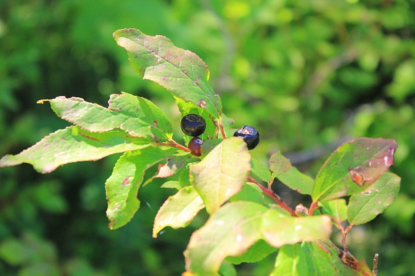 Serrated leaves on a huckleberry bush