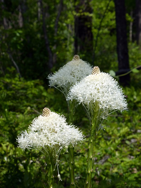 Beargrass.RMKK..