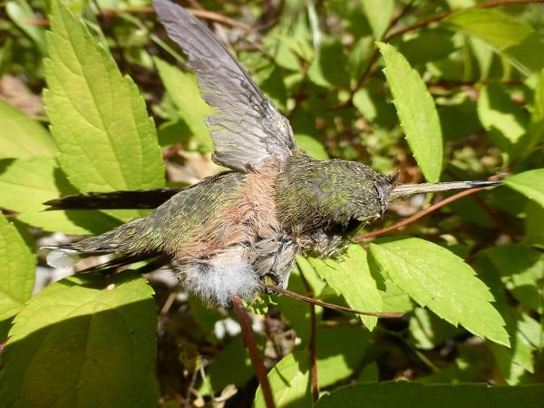hummingbird.Wessie.RMKK