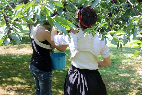 The RMKK People picking cherries.7.13.