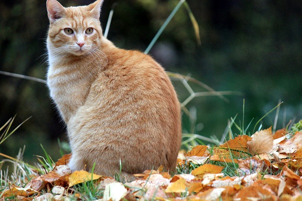 Cat Wes sitting in fall leaves