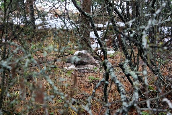 Deer Hide