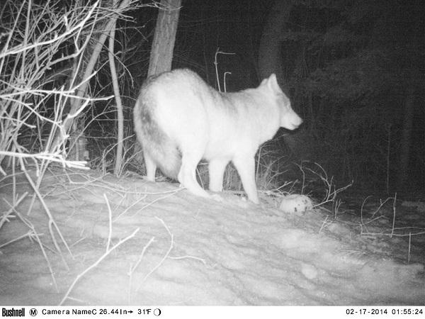 Wolf.RMKK.1
