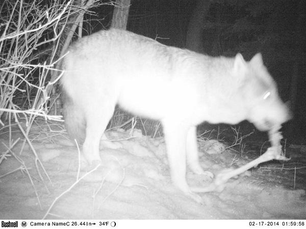 Wolf.RMKK.3