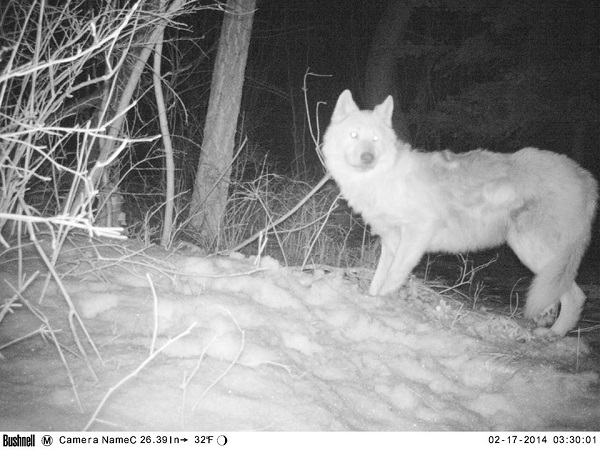 Wolf.RMKK.4