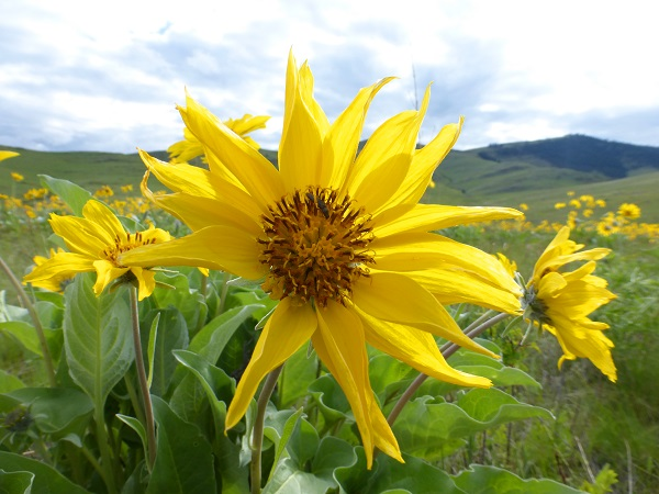 Arrowleaf Balsam Root1.National Bison Range..