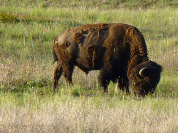 Bison.National Bison Range..
