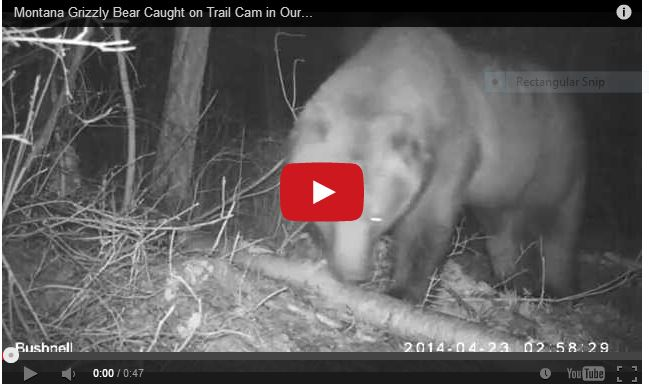 Grizzly Trailcam Video Capture