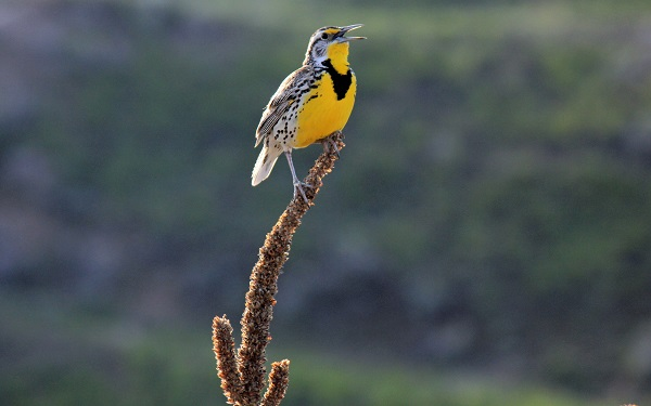 Western Meadowlark.National Bison Range..