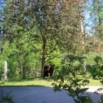 Bear on lawn