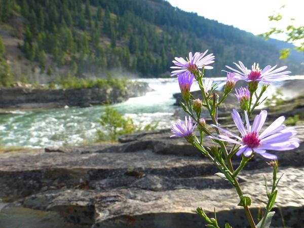 Flowers Kootenai Falls
