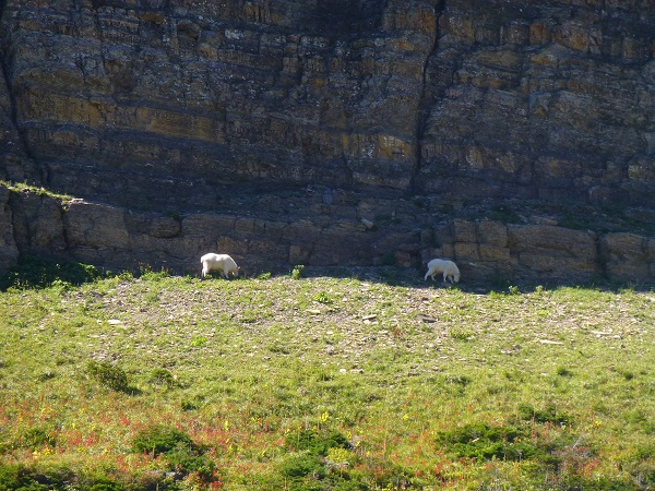 Mountain Goats on Piegan Pass Trail