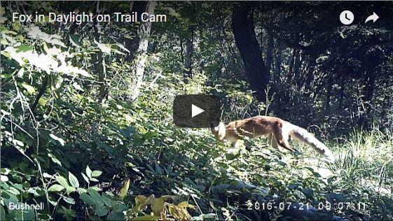 Fox on Trail Cam