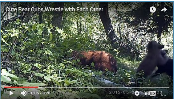 Wrestling Bear Cubs
