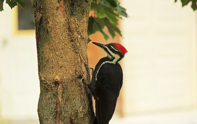 Pileated Woodpecker.the RMKK people
