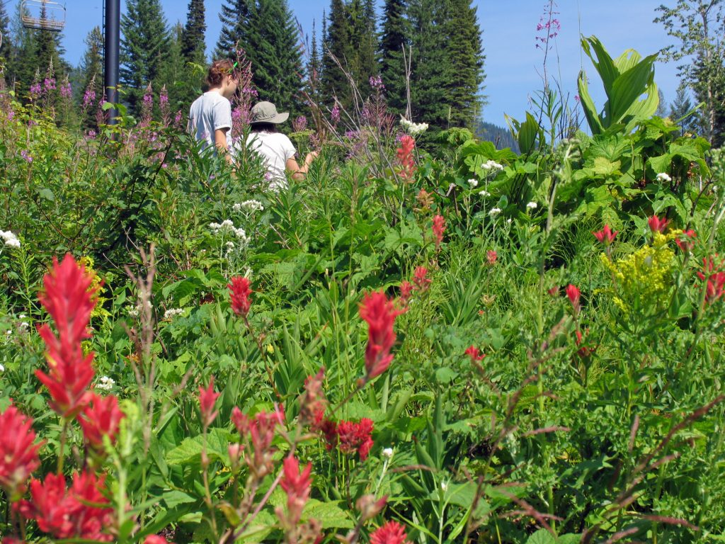Picking fireweed on Big Mountain, Whitefish, Montana